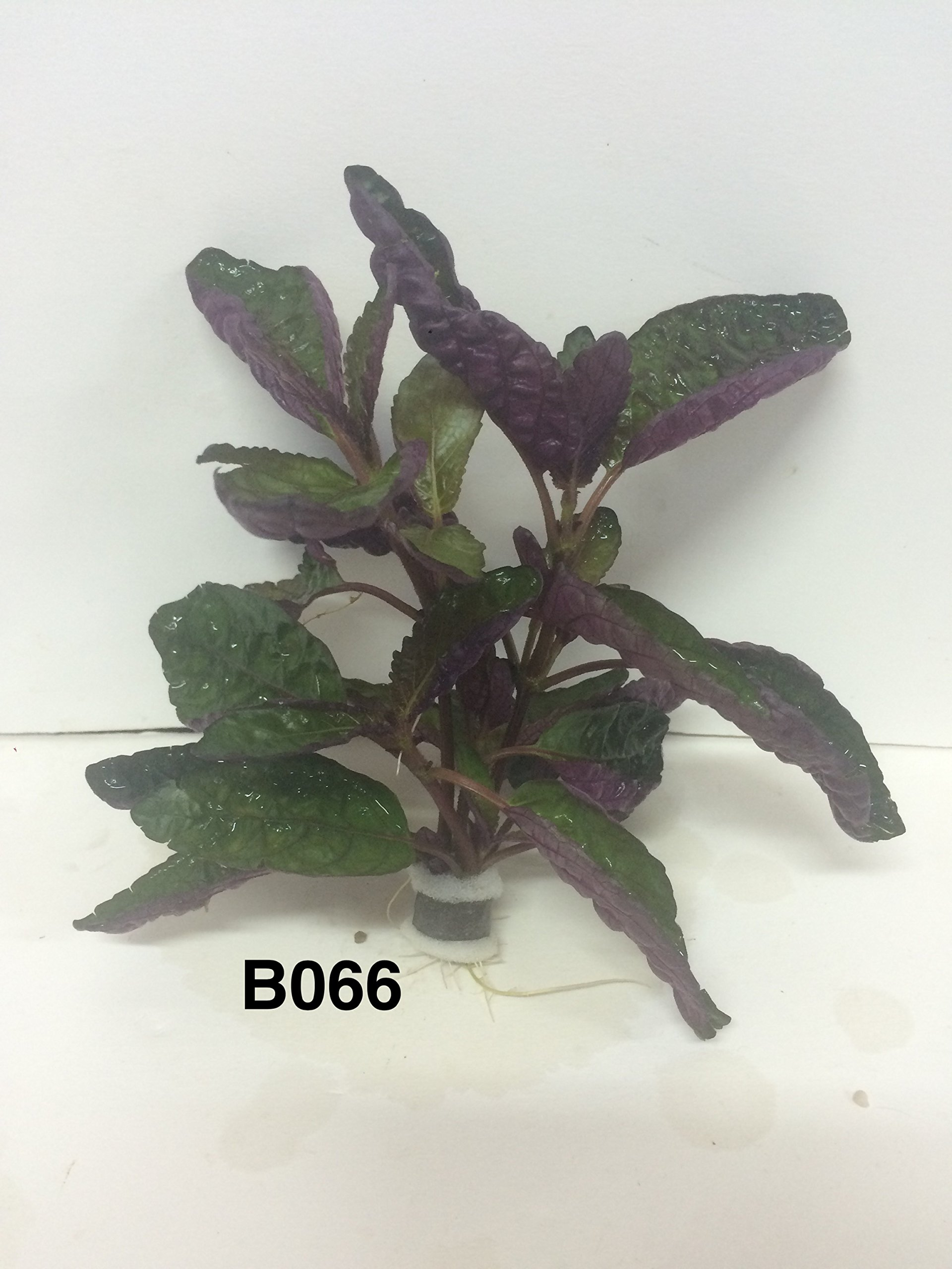 Exotic Live Aquatic Plant for Fresh Water Hemigraphis colorata Bundle B066 By Jyco **Buy 2 GET 1 Free by Jayco (Image #5)