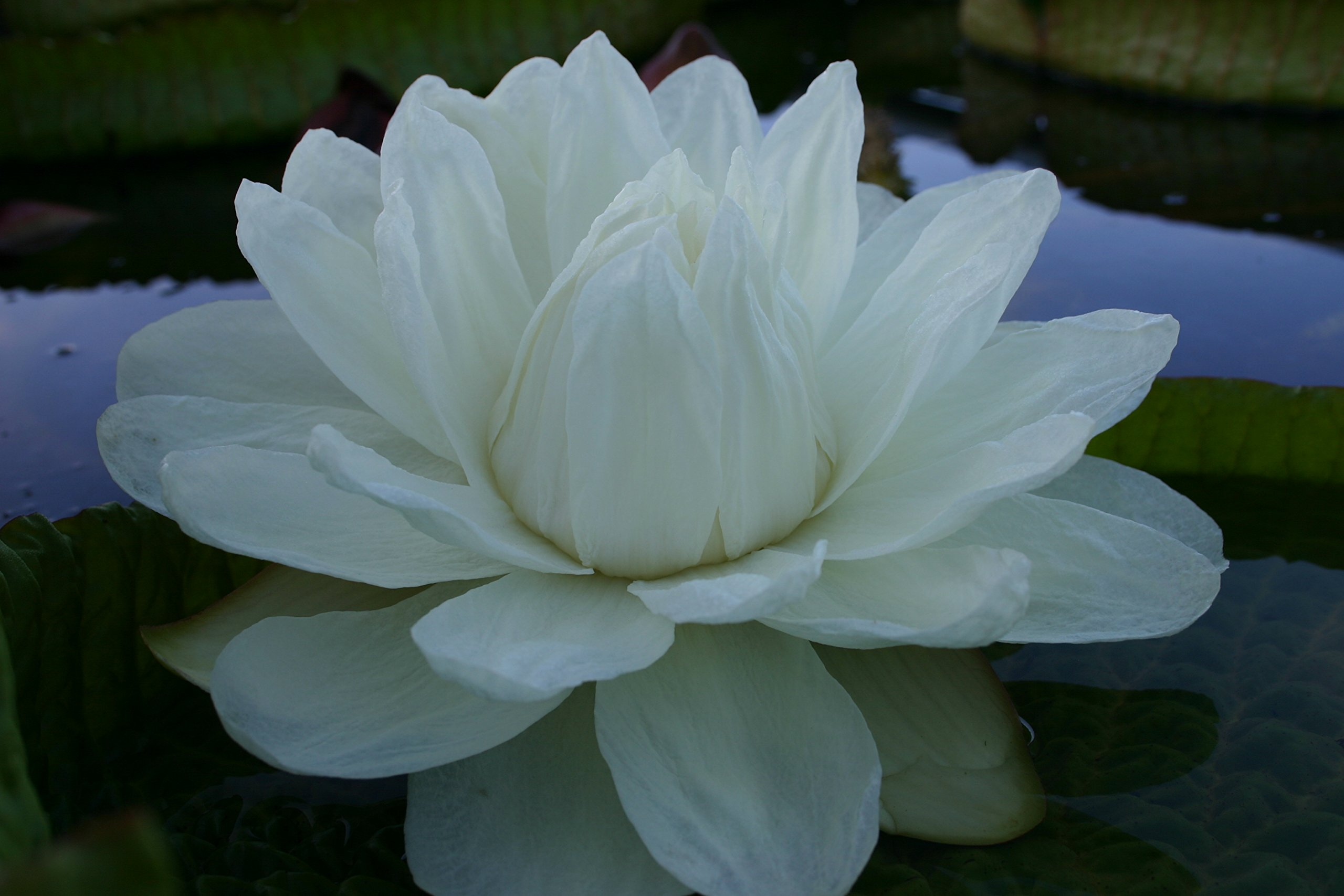 Giant Victoria Water Lily Sold AS: Bare Root