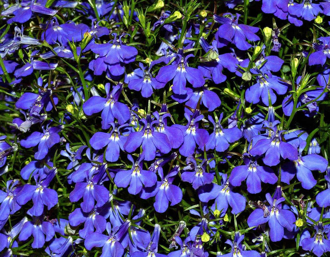 Amazoncom Lobelia Riviera Midnight Blue 5 000 Seeds Garden