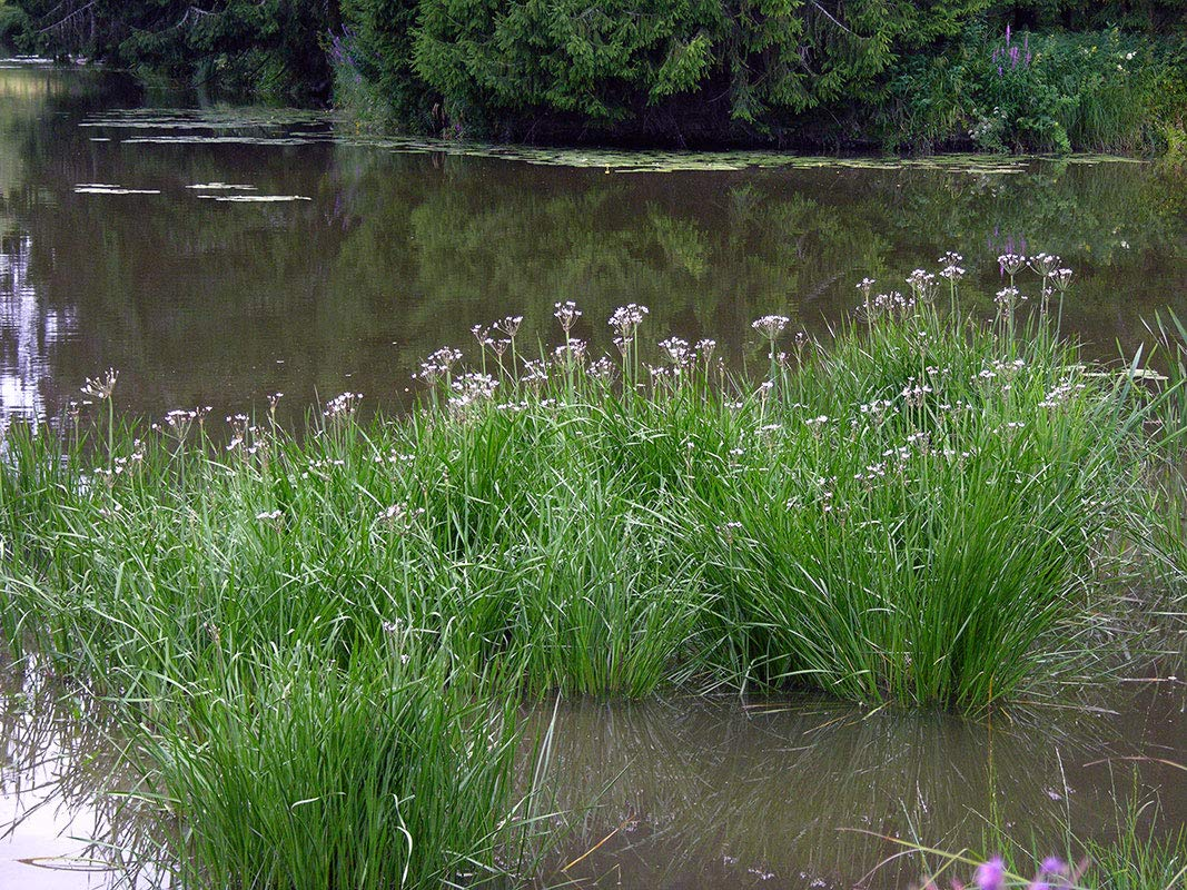 Chalily Shallow Water Bare Root Marginal Plant for Ponds Bogs and Water Gardens | Flowering Rush by Chalily