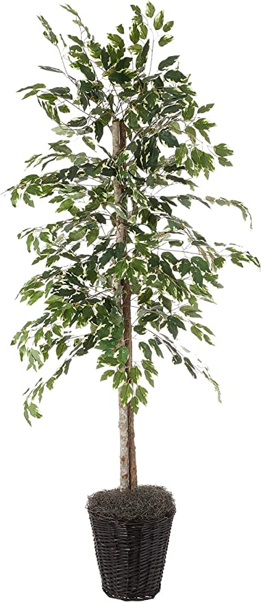 Vickerman 6 Feet Artificial Variegated Ficus Economy Tree In Decorative Container Home Kitchen