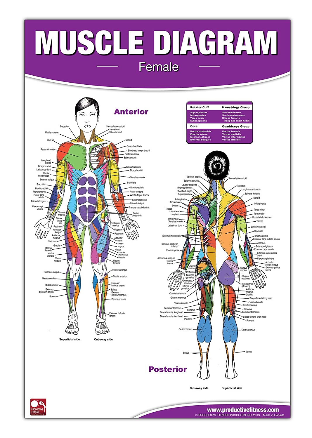 Amazon Female Muscle Diagram Laminated Poster Chart Sports