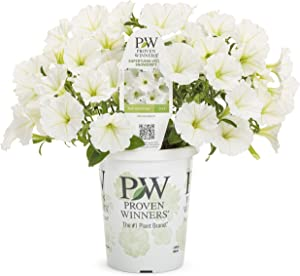 Proven Winners SUPPRW4057524 Supertunia Vista Snowdrift Live Plants, 4 Pack, 4.25 in. Grande, White Flowers