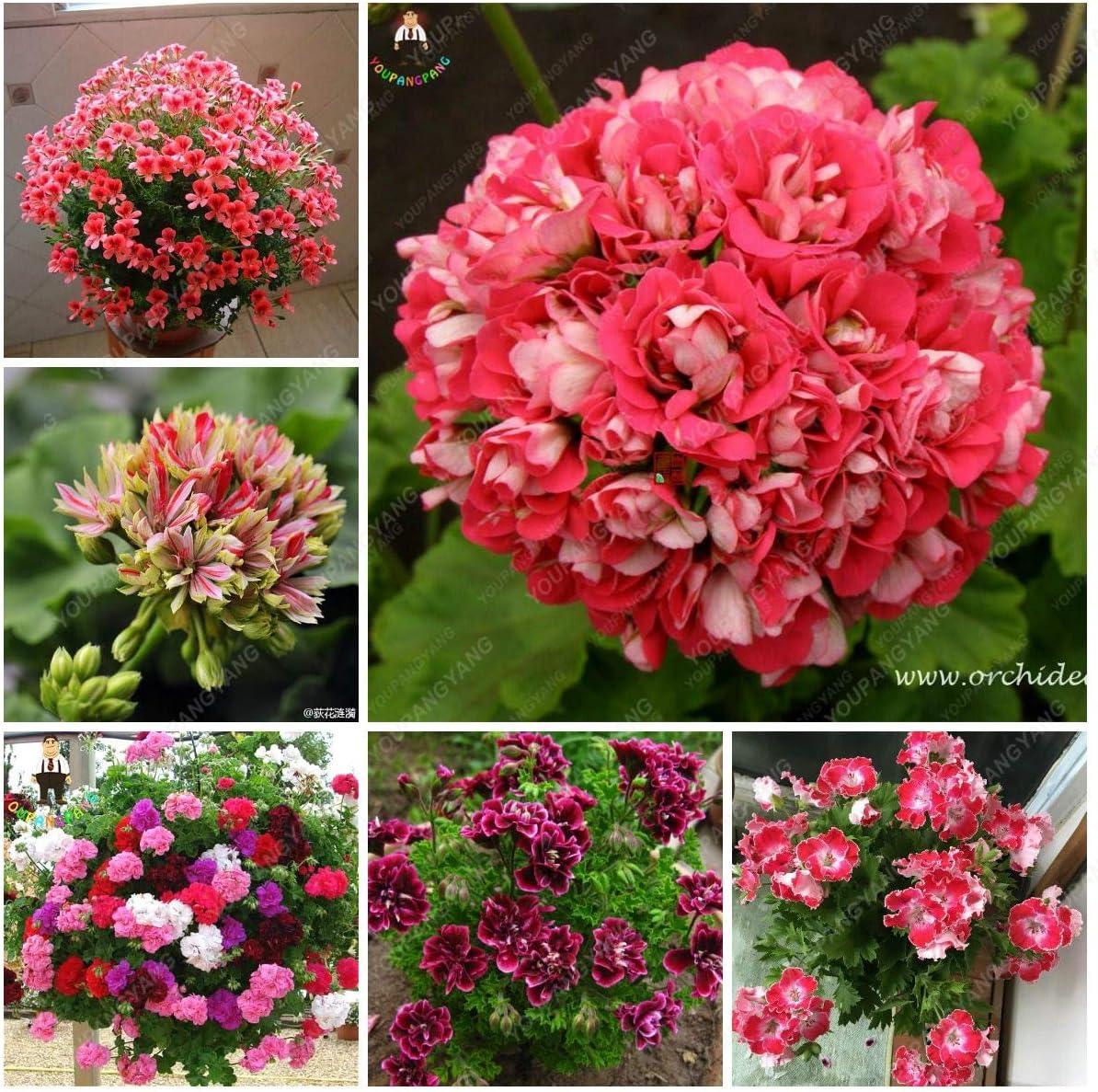 SVI FRA/ÎCHE 100 PCS graines fra/îches fleurs G/éranium pour le plantation mixte 1