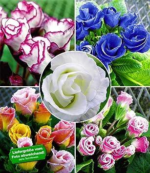 BALDUR-Garten Rosen-Primeln Rosen-Primula \'Farb-Mix\', 5 Pflanzen ...