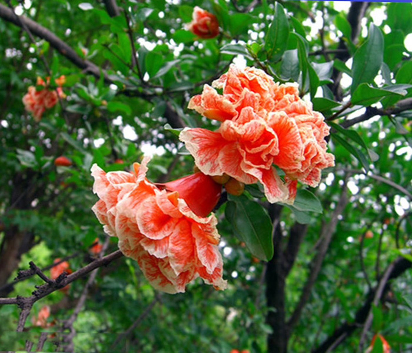 Best Garden Seeds Heirloom wu hua 'white orange pomegranate flower seeds, Professional Service Pack, 20 Seeds / Pack, Light Fragrant Flowers shrub Punica by Best Garden Seeds