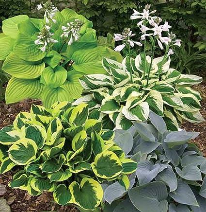 Amazoncom Hosta Plant Flower Seeds Mix Bulk 100 Seeds