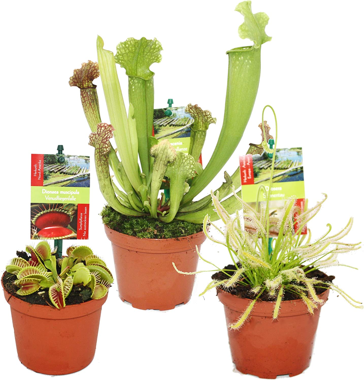 Set de iniciación Plantas carnívoras - 3 plantas
