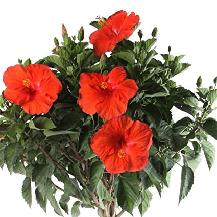 Amazoncom Costa Farms Live Braided Hibiscus Outdoor Plant Growers