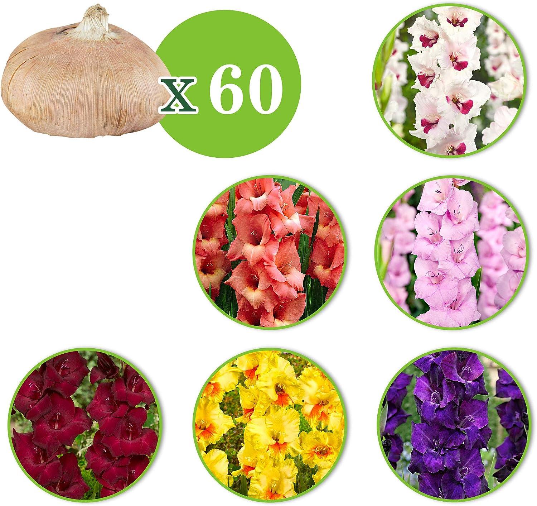 60x Gladiolus Gladioli tubers Mixed Colors