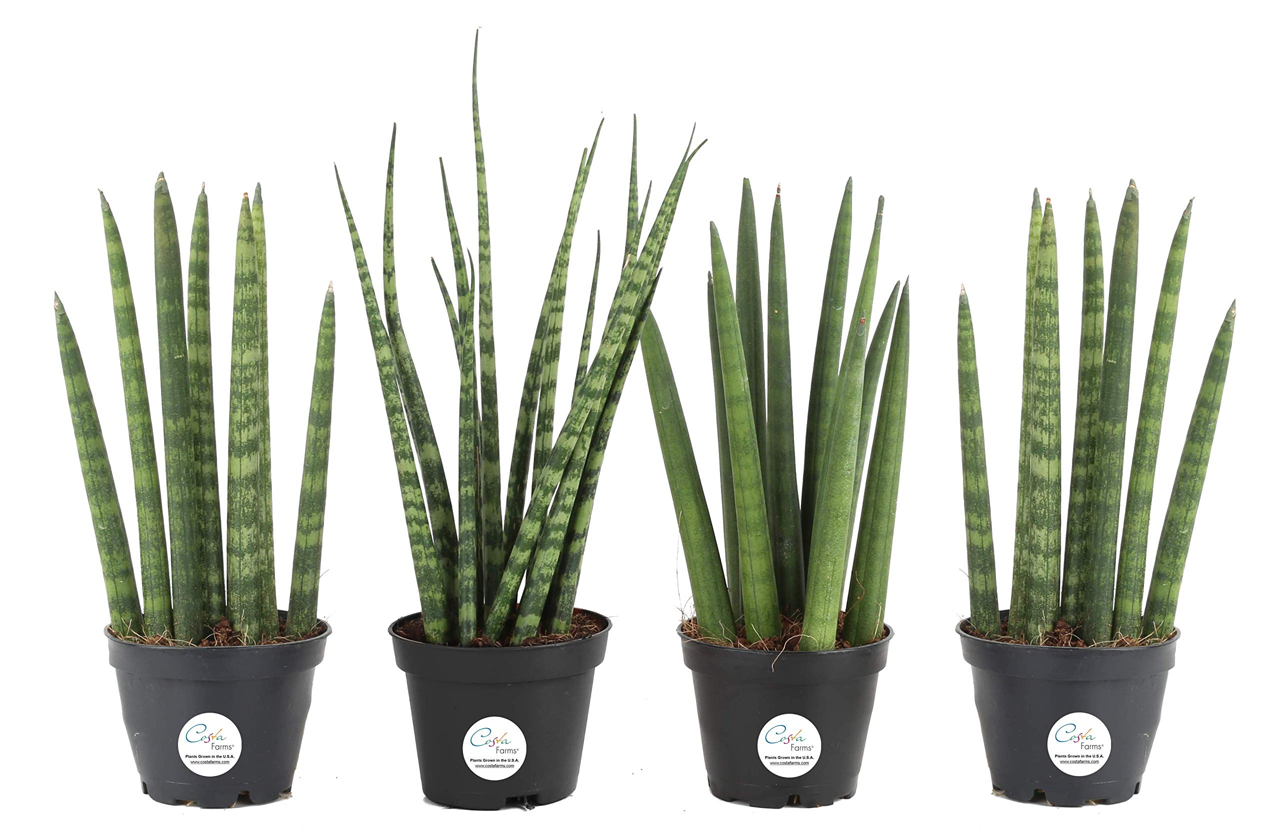 Costa Farms Sansevieria Cylindrica Succulent-Like Live Indoor Plant, 6-Inches Tall, Grower's Choice by Costa Farms