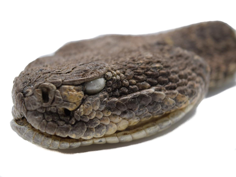 Amazon.com: Real cascabel cabeza: boca cerrada (az-598-p518 ...