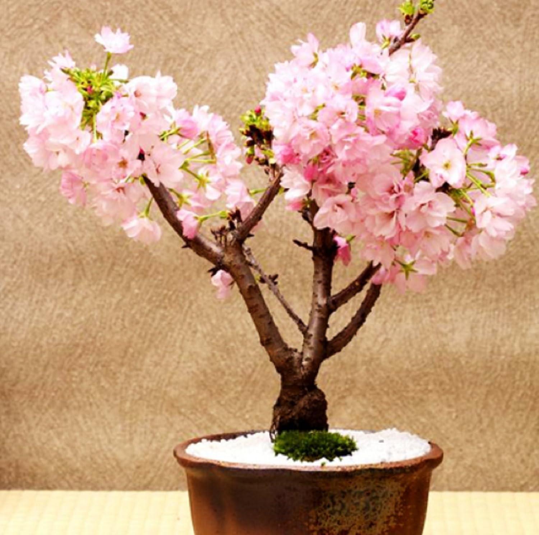 Amazon Com Hot 10 Pcs Rare Pink Japanese Sakura Seeds Indoor