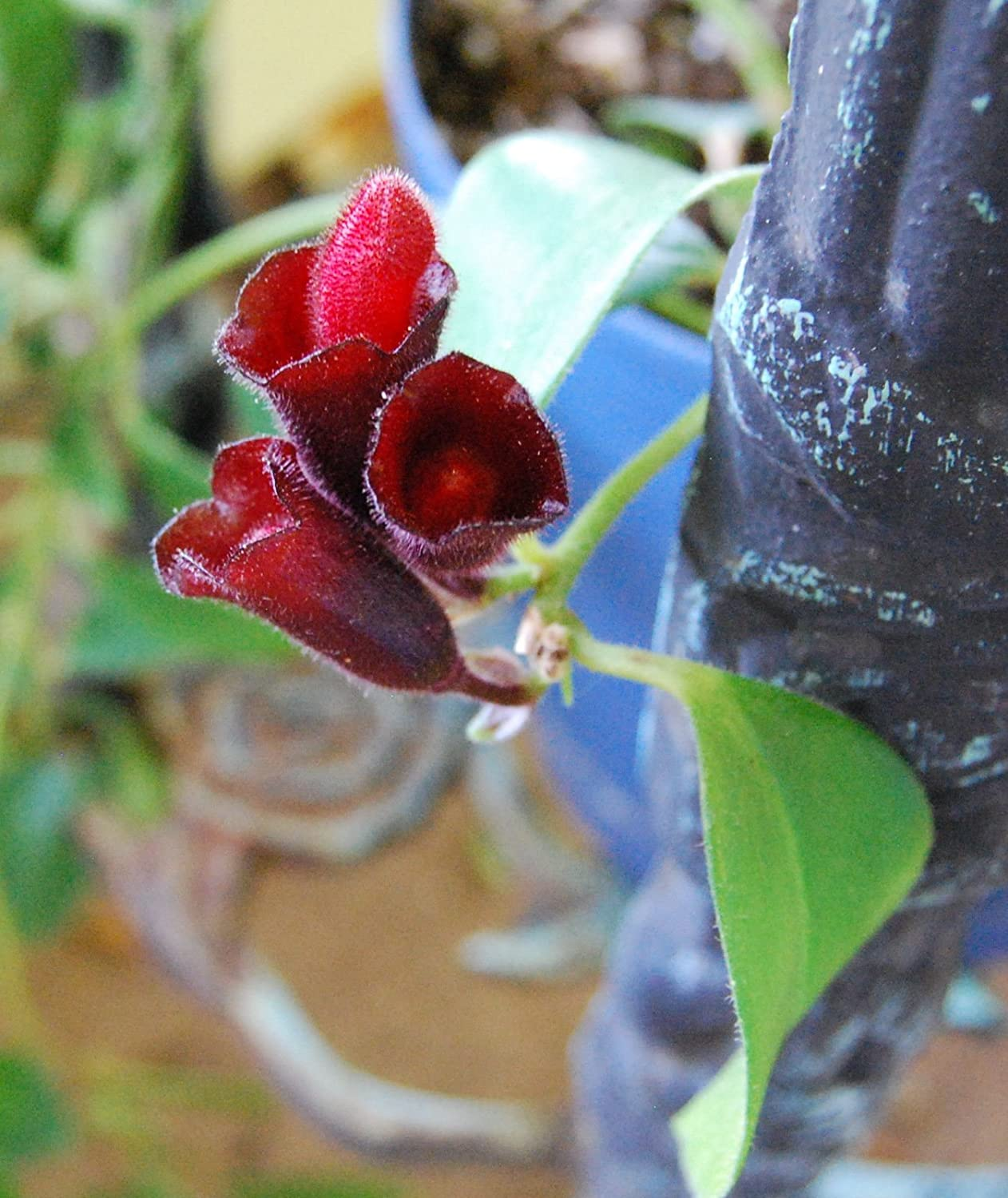 Amazon Com Lipstick Plant Purple Flowering Vining