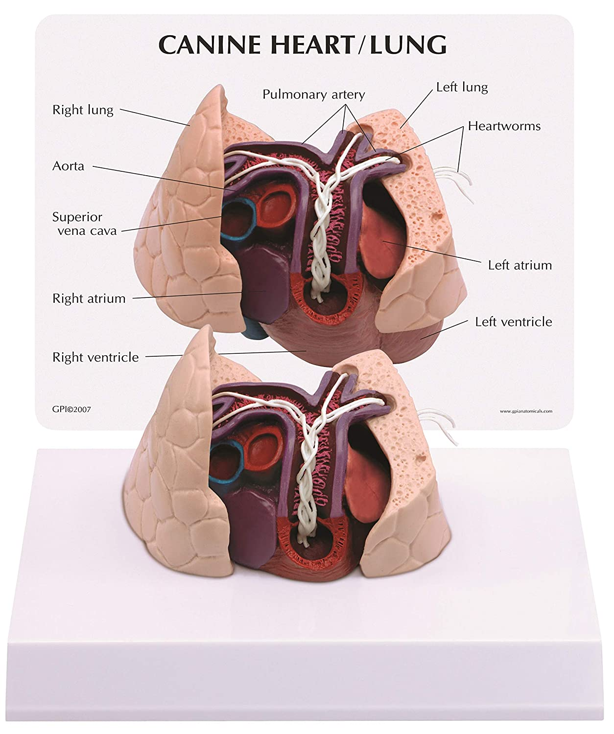 Caninedog Heart Lung Anatomyanatomical Model 9151 Animal
