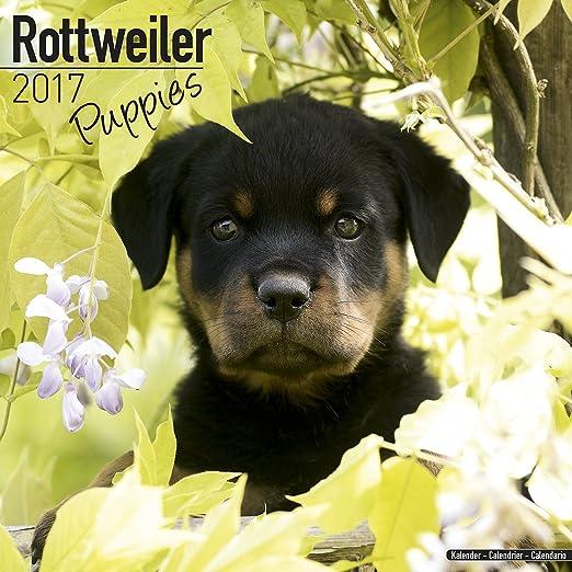 Rottweiler Puppies Calendar 2017 - Puppies Calendar - Dog Breed Calendars - 2016 - 2017 wall calendars - 16 Month by Avonside
