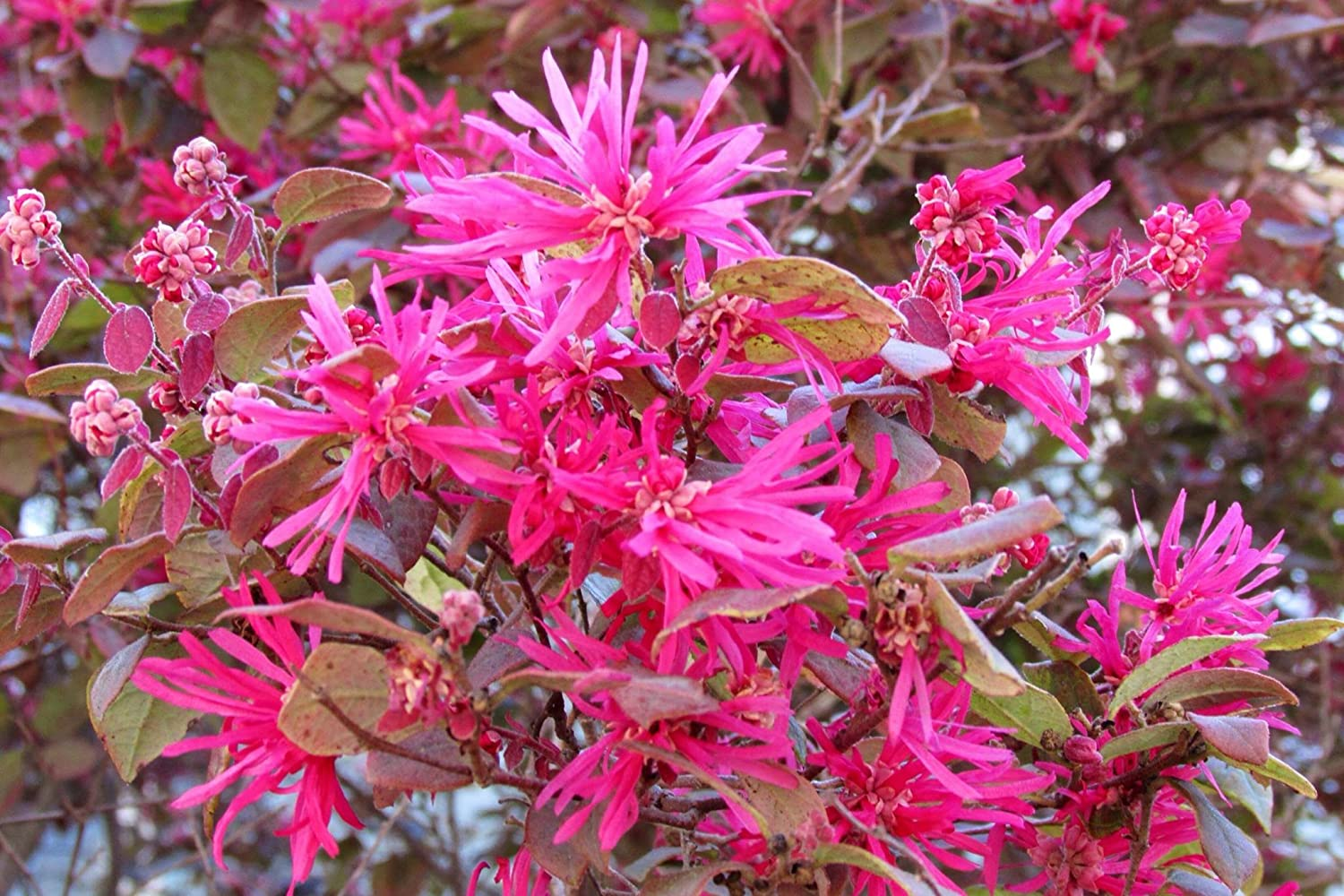 Amazon Heirloom 5 Seeds Loropetalum Chinense Var Rubrum