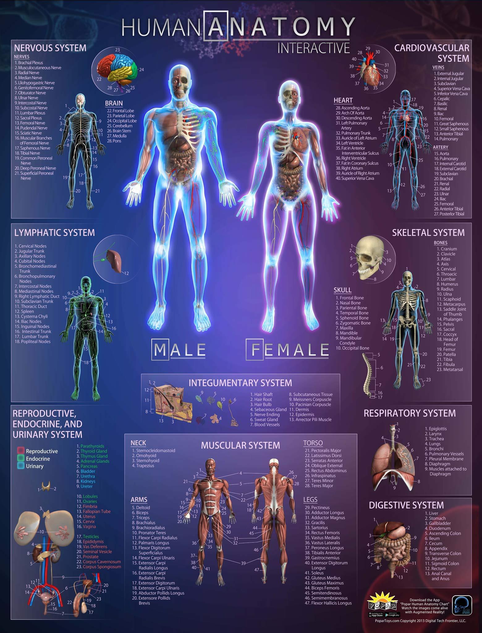 AKI Human Anatomy Interactive Wall Chart 16 x 20 inch Male and ...