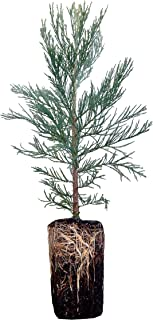 product image for Giant Sequoia   Live Tree Seedling (XL)   The Jonsteen Company