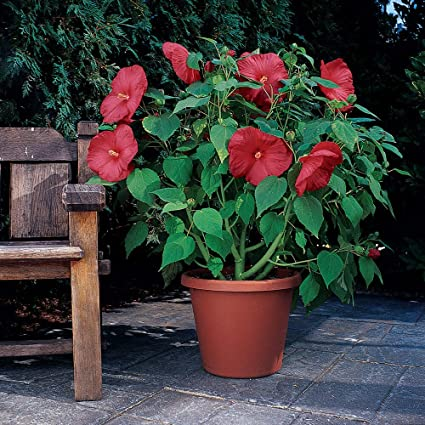 Amazoncom Outsidepride Hibiscus Luna Red Flower Plant Seed 10