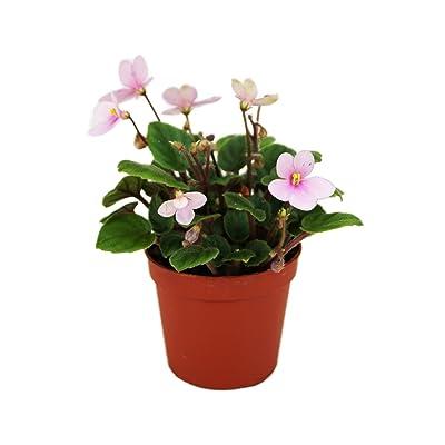 Miniature African Violet (Grower's Choice) : Garden & Outdoor