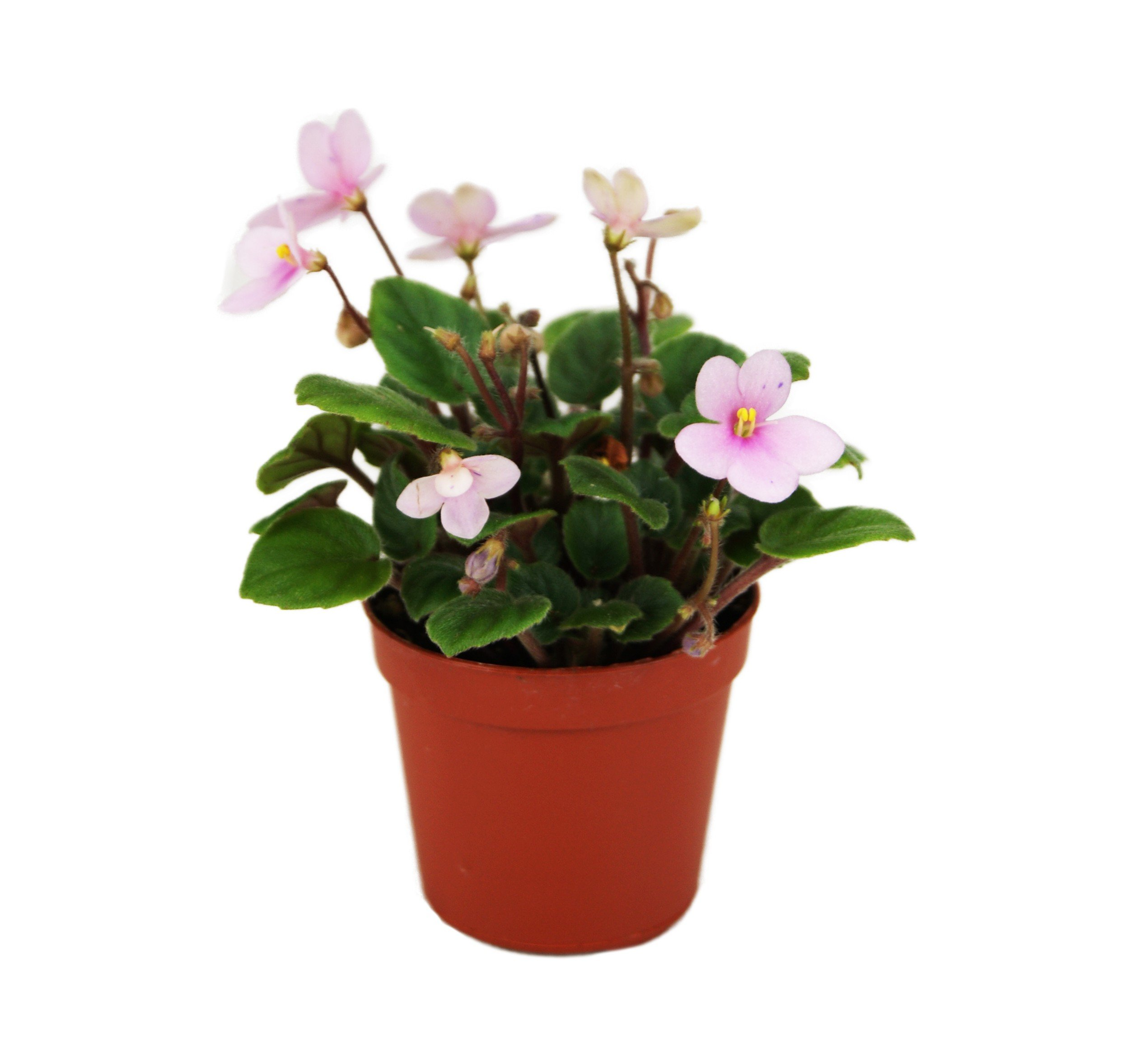 Miniature African Violet (Grower's Choice)