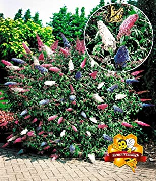 Baldur Garten Sommerflieder Papillion Tricolor Buddleia