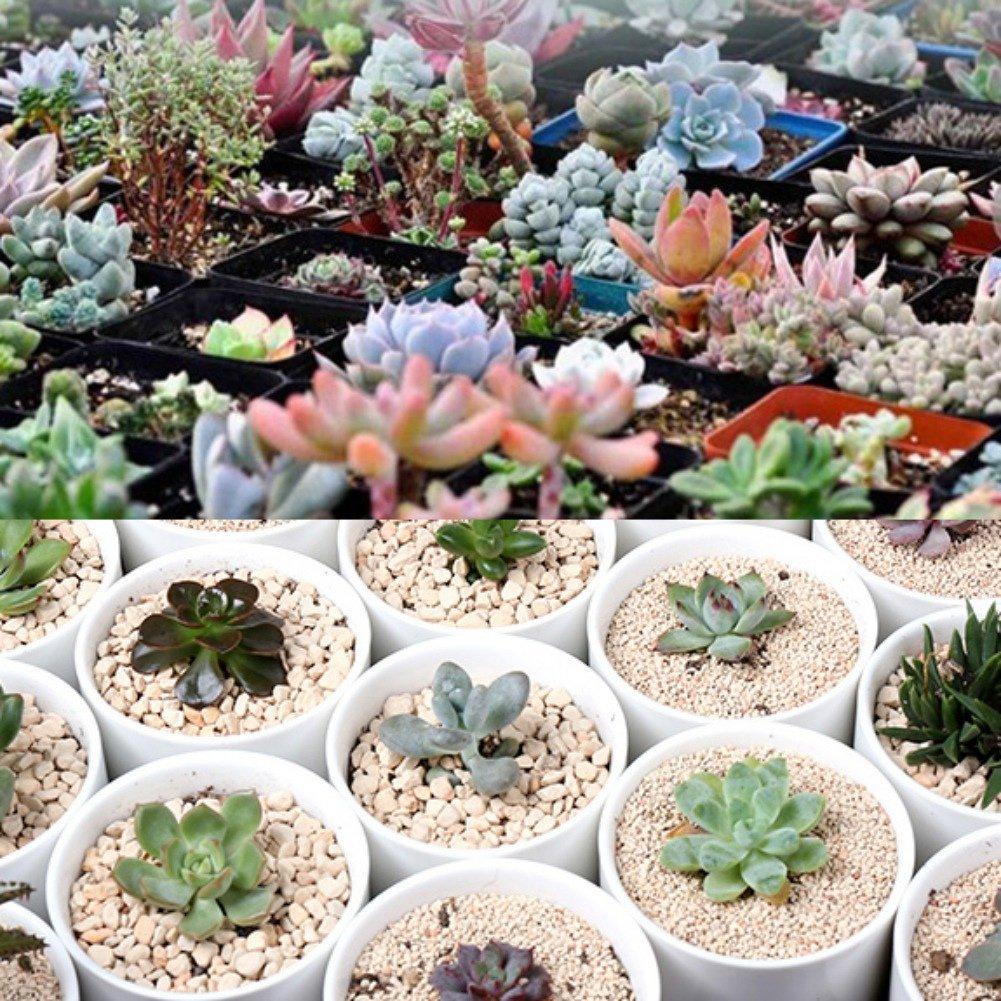 Doubleer Mixed Succulent Plants Living Stone Garden Plant Decor Bonsai Plants Seeds