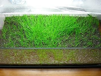 Eleocharis sp. Mini - 1 Bunch - Plantas naturales para acuarios ...