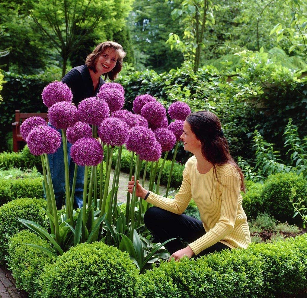 100 Purple Giant Allium Giganteum Beautiful Flower Seeds Garden Plant The Budding Rate 9100% Rare Flower for Kid