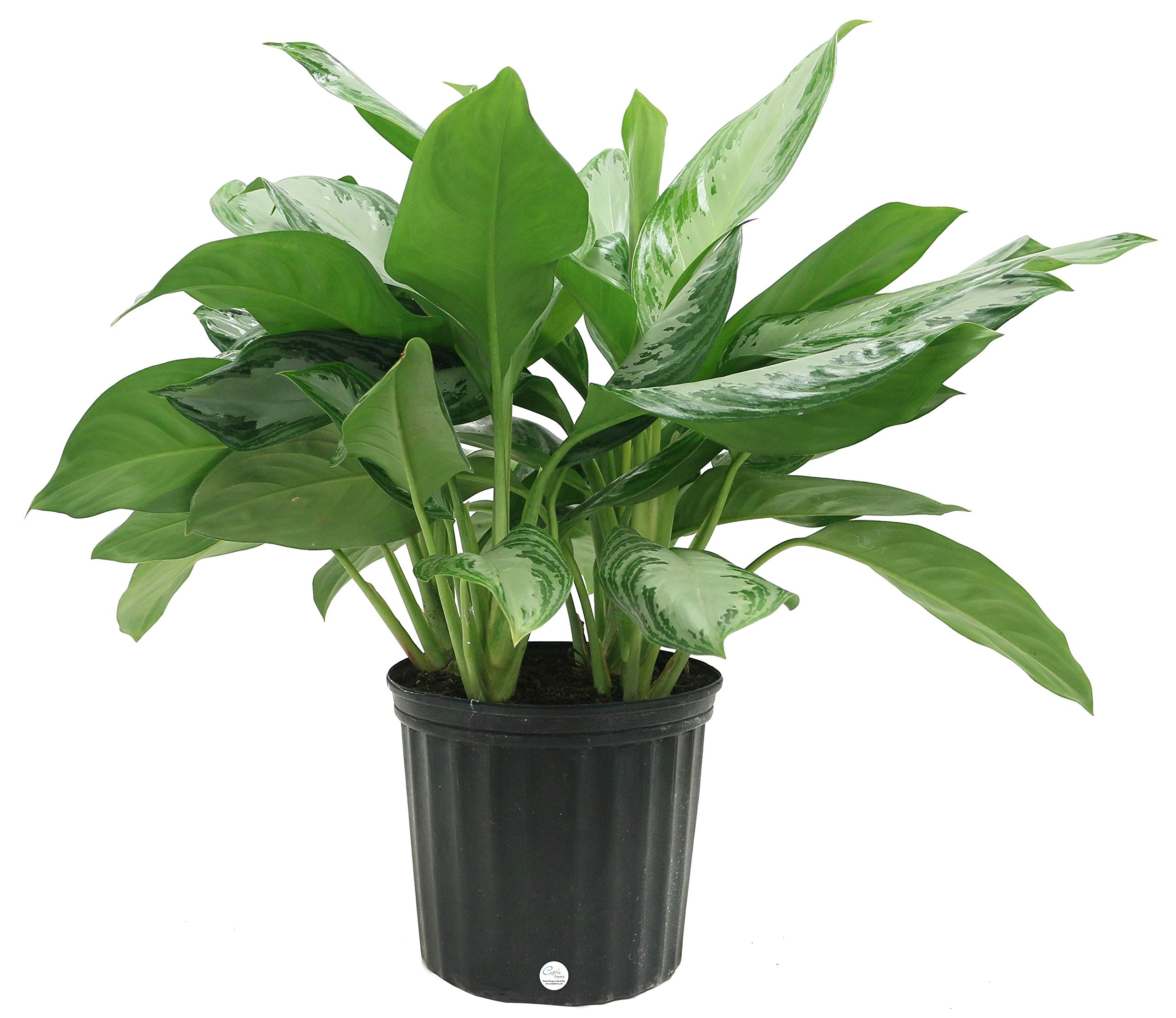 Costa Farms Aglaonema Chinese Evergreen Live Indoor Plant, 30-Inches Tall, Ships in Grower's Pot by Costa Farms