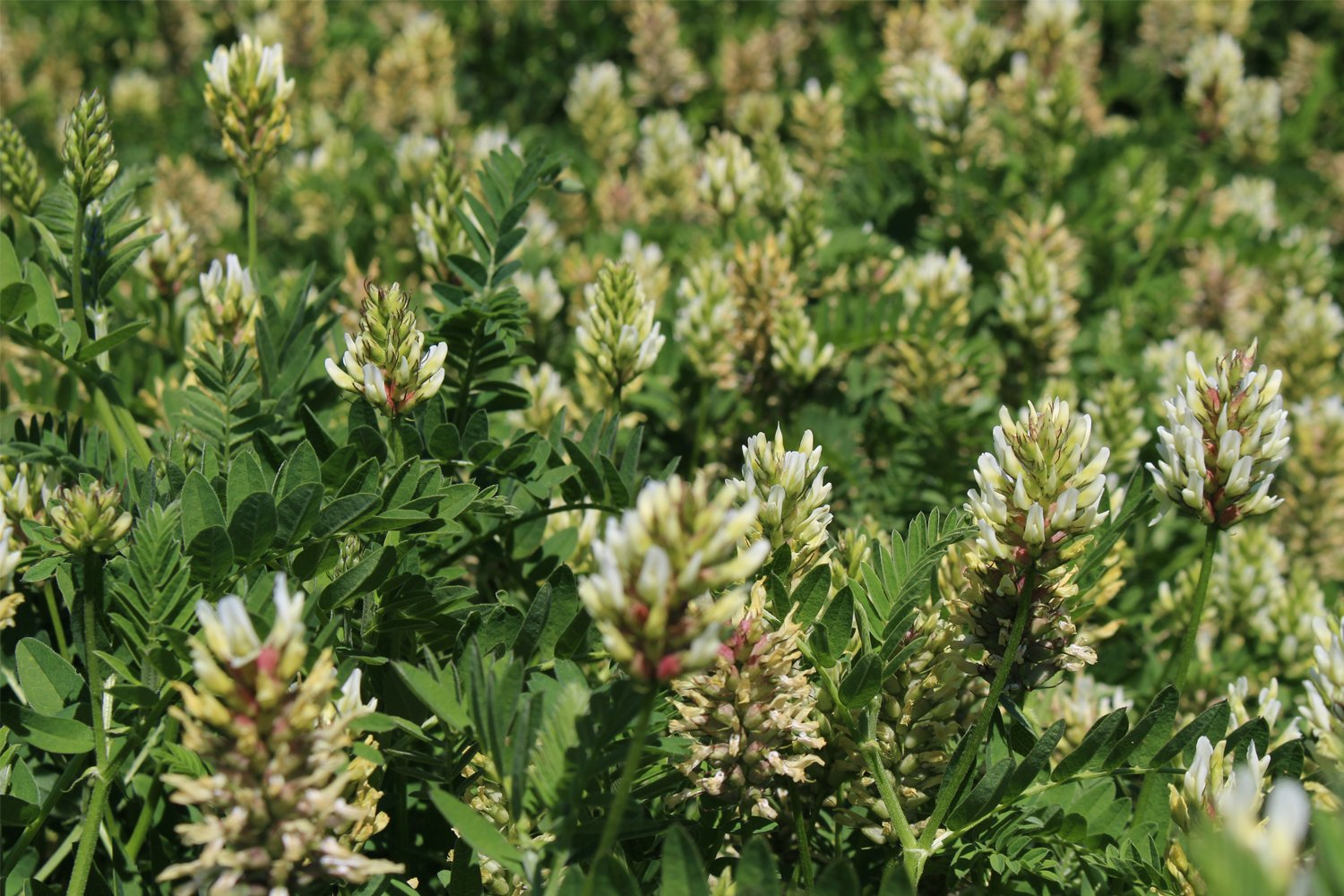 Cicer Milkvetch (25 LBS) by Nature's Seed (Image #1)