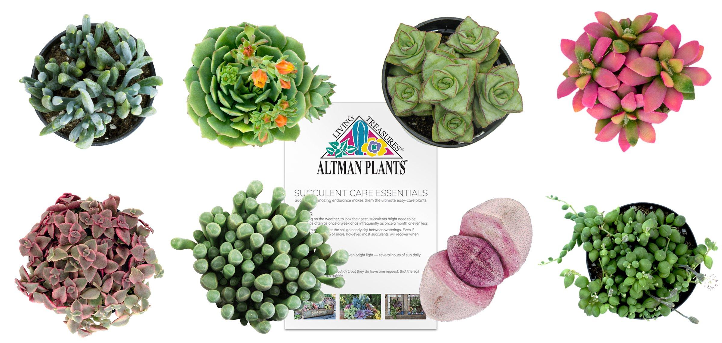 Altman Plants Succulents Fairy Garden Collection 8 Pack, 2.5''
