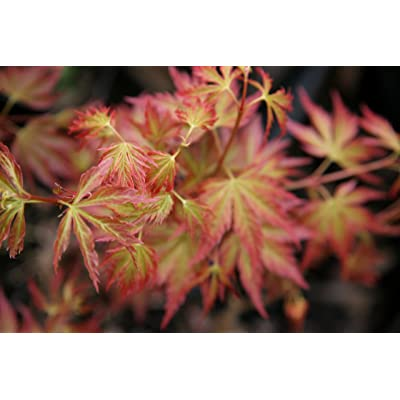 Cynthia's Crown Jewel Japanese Maple 2 - Year Graft : Garden & Outdoor
