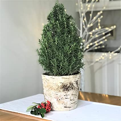 live potted rosemary tree in a natural birch basket mini christmas tree ships - Live Mini Christmas Tree