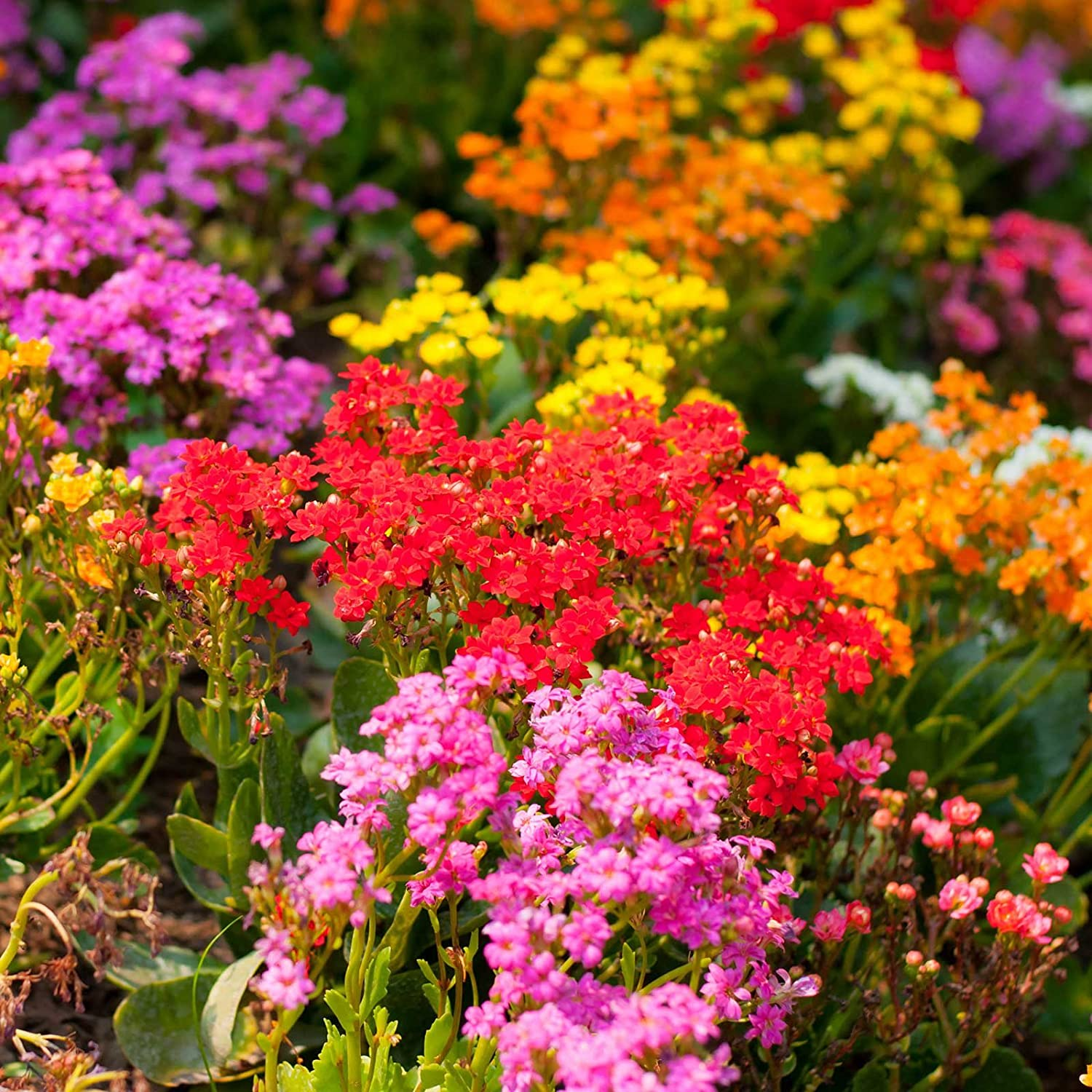 Alyssum Wonderland Series Flower Garden Seeds: Color Mix - Approx 5000 Seeds - Annual - Lobularia maritima