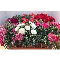 Clavel Pack 6 Plantas Naturales (DIANTHUS CARNELIA) 13 cm ø - Vipar Garden 2