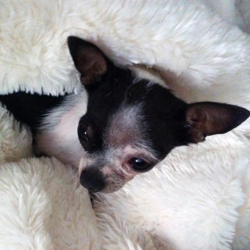 Chihuahua Training How to Train a Dog