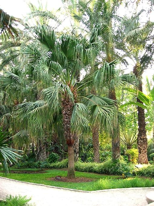 10 Semillas de Palmera Livistona Chinensis: Amazon.es: Jardín