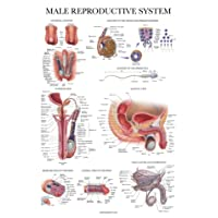 Laminated Male Reproductive System Anatomical Chart - Male Anatomy Poster - 18