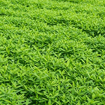 garden cover crop. Garden Cover Crop Mix Seeds - Blend Of Gardening Seeds: Hairy Vetch,
