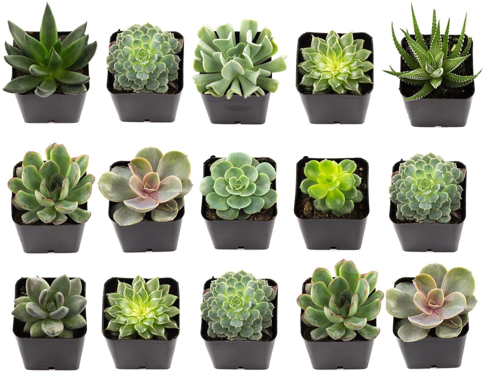 NW Wholesaler - Set of 15 Exotic 2.25'' Live Succulent Plants