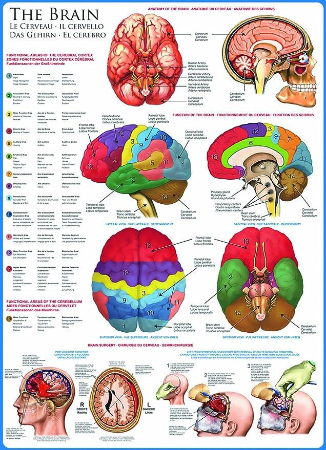 Ziemlich Anatomie Des Gehirns Und Funktionen Zeitgenössisch ...