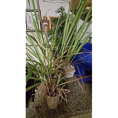 """Vietnamese Lemongrass – Xả - 1 Plants - 1 to 2 Feet Tall - Ship in 4"""" Pot : Garden & Outdoor"""