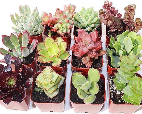 Plantas Suculentas Paquete de 5 Completamente Enraizado en Maceteros con Suelo