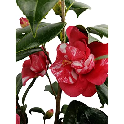 Governor Mouton Camellia - Live Plant - 3 Gallon : Garden & Outdoor