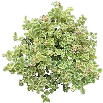 Sedum Little Missy Succulent (4 inch) : Garden & Outdoor