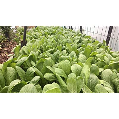 2000+ 1/4-oz Edible YU Choi/You CAI Xin/Choy Sum 青骨油菜/油菜心 Heirloom Non-GMO; Ready to (ASF) Harvest in just 40 Days : Garden & Outdoor