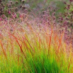 Panicum virgatum Sunburst | 100_Seeds