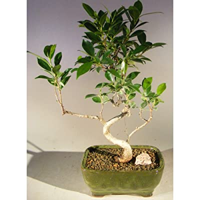 Ficus Retusa Bonsai Tree - Small Curved Trunk Style: Garden & Outdoor